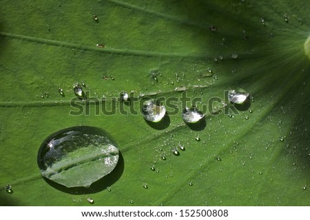 Lotus leaf with water drops effect green  - stock photo