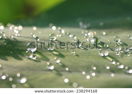 Lotus leaf with water drops effect green, drops of dew on a green grass