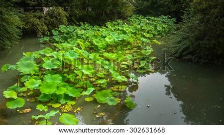 Lotus leaves (nelumbo nucifera) alongside a stream - stock photo