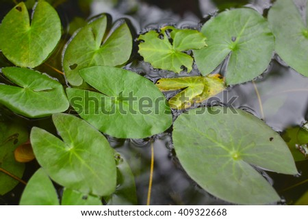 Lotus leaves submerged in the small pond.