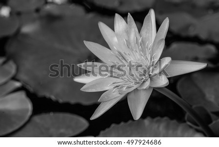 Lotus lotus pictures monochrome black and white pictureblackwhite monochrome