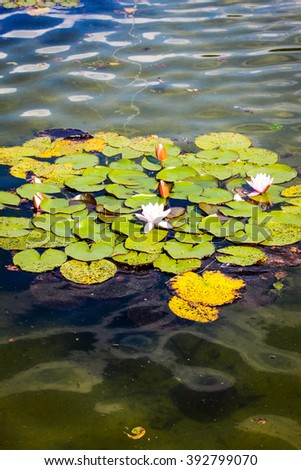Lotus or Water lily flower - stock photo