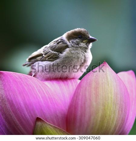 Lotus pond sparrow - stock photo