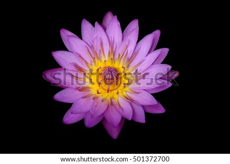 Lotus , Water Lilly Flower isolated black background