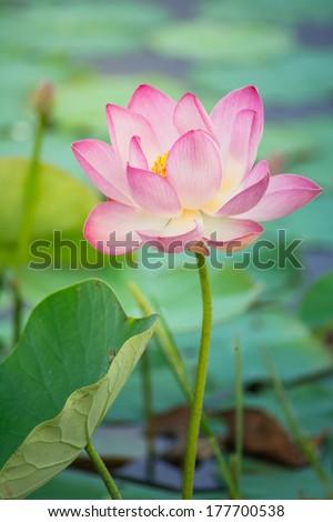 Lotus, Water Lily - stock photo