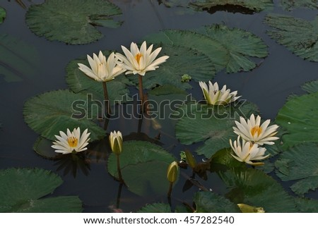 lotus;water lily;beautiful aquatic flower