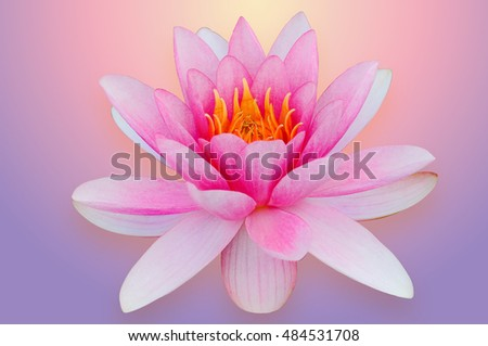 Lotus water lily isolated with clipping path pink and purple Hindu religion symbol