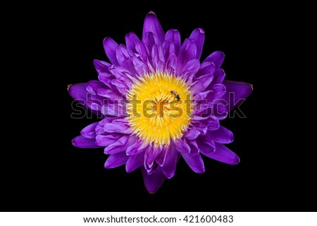 Lotus, water lily,  waterlily isolated on black background