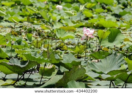 Lotus waterlily flower white color, Naturally beautiful flowers in the lake