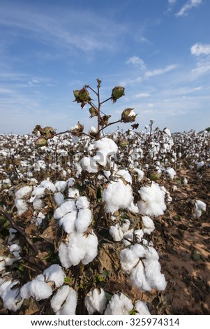 Louisiana Cotton Crop