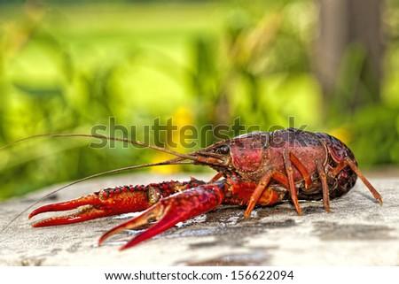 Louisiana Crawfish - stock photo