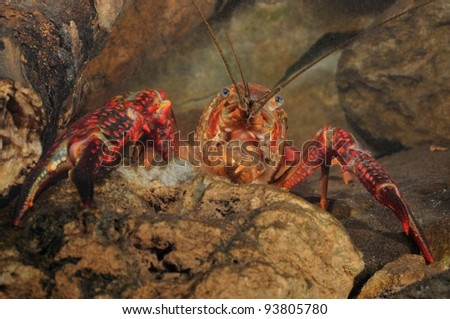 Louisiana crawfish (Procambarus clarkii) underwater - stock photo