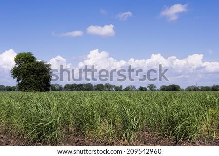 Louisiana Sugar Cane Field - stock photo