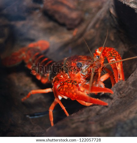 louisiana swamp crayfish Procambarus clarkii - stock photo