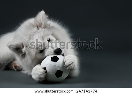 Lovable Samoyed dog playing with ball on dark background - stock photo