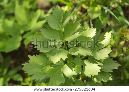 lovage leaves Levisticum officinale - stock photo