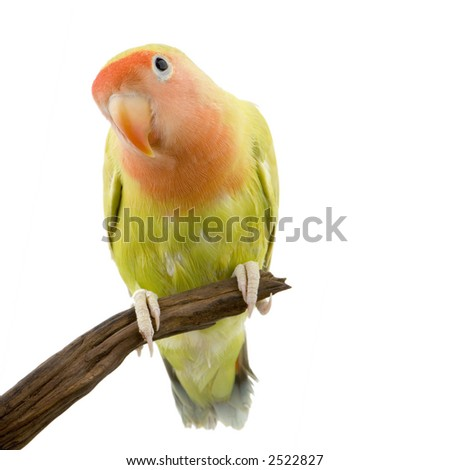 love bird in front of a white background - stock photo