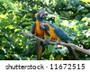 Love Birds - Blue & Gold Macaws - stock photo