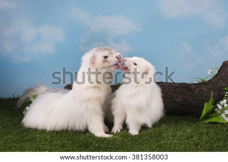 love ferret kissing in the park