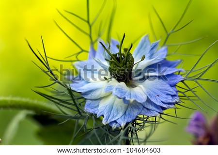 Love-in-a-mist flower  Nigella damascena