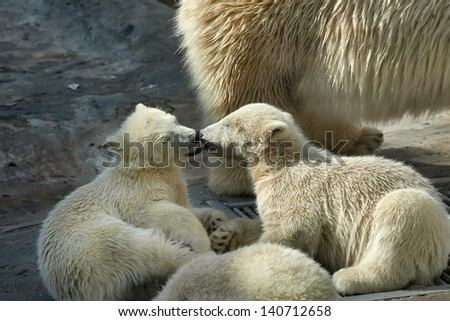 Love licking of polar bear siblings - stock photo