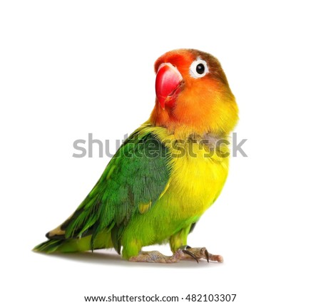 Lovebirds Stock Images, Royalty-Free Images & Vectors   Shutterstock