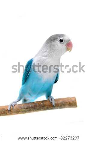 Lovebird isolated on white Agapornis fischeri (Fischer's Lovebird Clarified blue morph) - stock photo