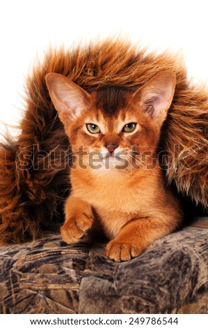 Lovely abyssinian kitten portrait front view purring and looking at camera - stock photo