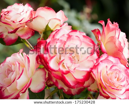Lovely and romantic blooms of the Hybrid Tea rose cultivar 'Double Delight' in the garden - stock photo