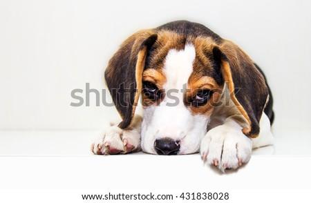 Lovely beagle puppy. - stock photo