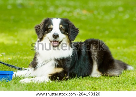 Lovely black and white dog with brown eyes lying in the grass.