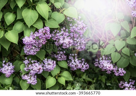 Lovely blooming lilac bush in garden or park. Outdoor lilac flowers - stock photo