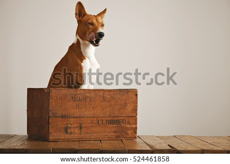 Lovely brown and white puppy sits patiently in an old wooden wine crate and licks his nose next to an off-white wall