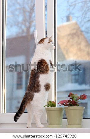 Lovely cat standing on the hind legs on the window sill and looking through
