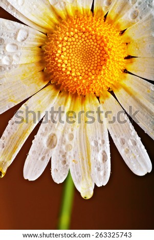 lovely chamomile on dark background
