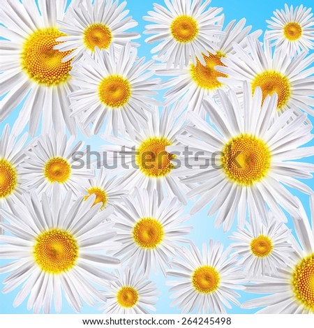 lovely chamomiles on blue background