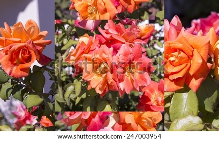 Lovely collage of  spicy fragranced orange pink  and yellow  floribunda roses blooming in summer are showy and ornamental adding a  glorious splash of auburn tones to the garden landscape.