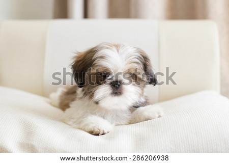 Lovely colored shih tzu puppy posing on pilow - stock photo
