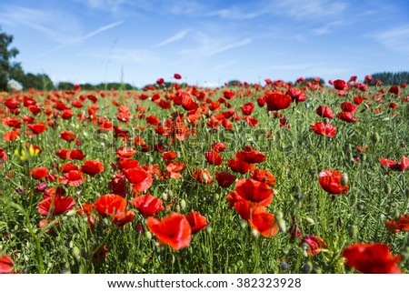 Lovely, colorful poppy field on the island of Ven in Sweden
