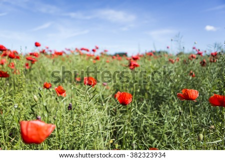 Lovely, colorful poppy field on the island of Ven in Sweden - stock photo