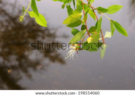 lovely cute white flower and green leaves  of a mangrove forest tree like Sonneratia caseolaris tree, middle size wetland tree growing in brackish water zone in asia and Thailand. - stock photo