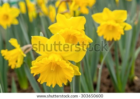 Lovely daffodils - stock photo