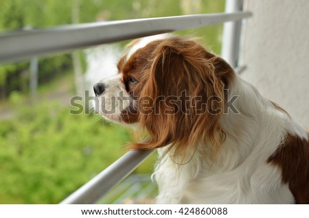 Lovely Dog, Cavalier King Charles Spaniel (Blenheim), watching through balcony bars