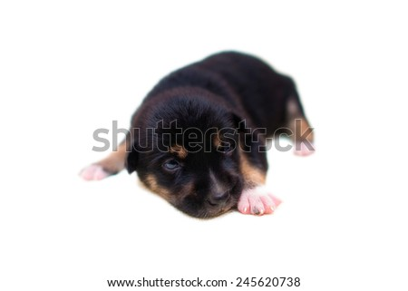 lovely dog, puppy in 2 week isolated on white background - stock photo