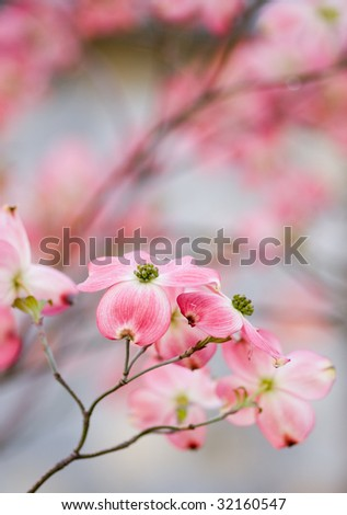Lovely Dogwood Blossoms - stock photo