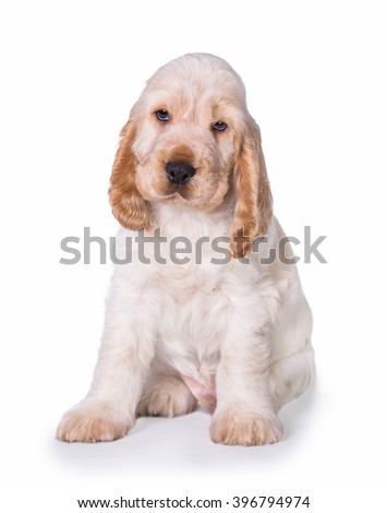 Lovely english cocker spaniel puppy sitting isolated on white