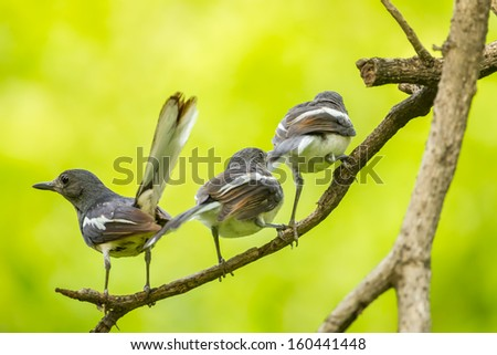 Lovely family of Oriental Magpie Robin bird in nature  - stock photo