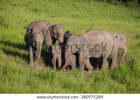 Lovely family of Wild Elephant walking on the hill in nature at Khaoyai national park,Thailand