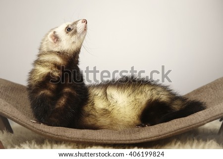 Lovely ferret on lounger - stock photo