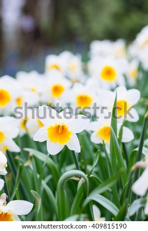 Lovely field with bright yellow and  white daffodils (Narcissus). Shallow dof and natural light. - stock photo